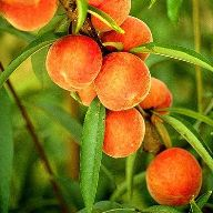Сочная сладкая мякоть персиков делает их популярными в рецептах десертов, салатов, пирогов и напитков.