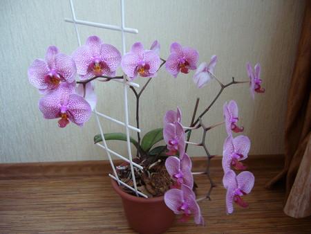 Уход за орхидеей афродита в домашних условиях 86