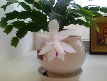 рождественник цветок фото: