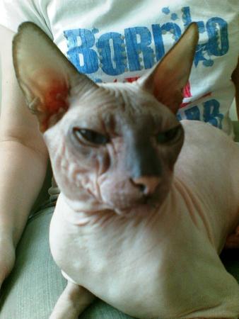 Если сфинкса скрестить с обычным котом фото