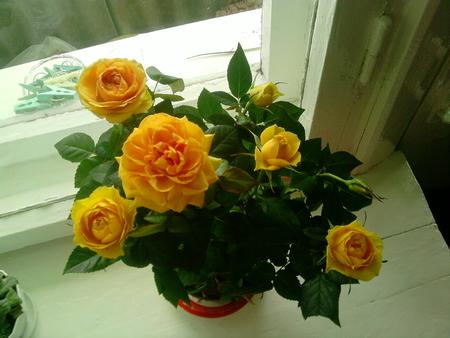 Кадышева роза