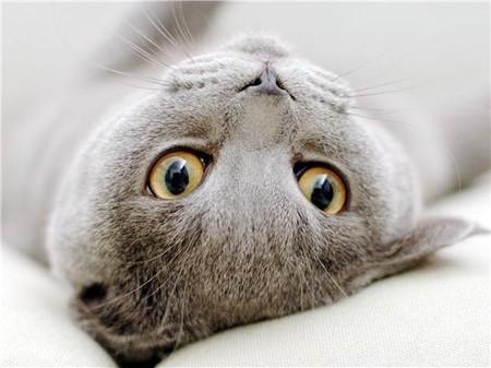 как определить котенка британца фото #12