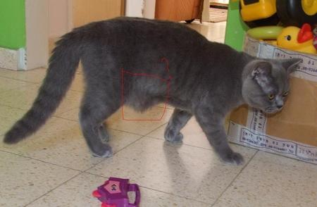 Британский кот резко похудела